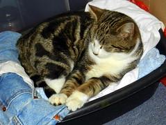 Edward dozing in the washing-up bowl bed.
