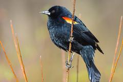 Red-Winged Blackbird Surveys