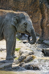 Young elephant at the river