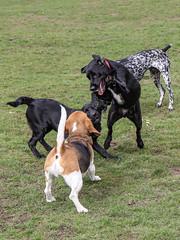 Beagles at play - 15
