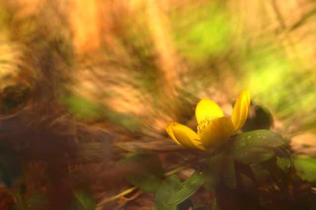 Un hiver jaune - Eranthis hyemalis