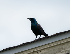 Grackle on a Roof