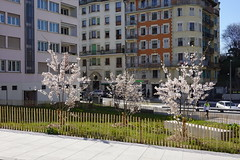Cherry tree in bloom @ Eaux Vives @ Geneva
