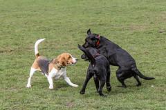 Beagles at play - 16