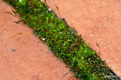 Brick Moss. Macro.