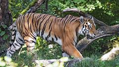 Sayan walking in his enclosure