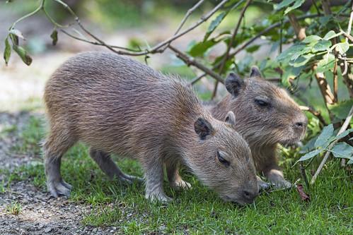 Two baby capybaras