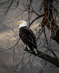 White and brown eagle on brown tree  - Credit to https://homegets.com/