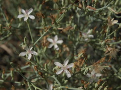 bush wirelettuce, Stephanomeria pauciflora