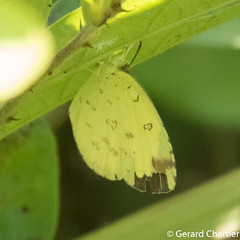 Eurema hecabe hecabe (Common Grass Yellow)