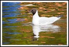 BLACK-HEADED GULL:  Chroicocephalus ridibundus