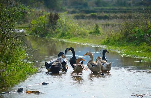 Gulucun - Ducks, goin' home