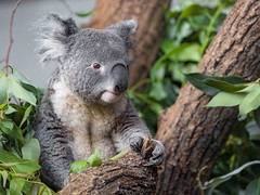 Another koala picture