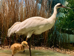 Whooping Crane Mother and Chick