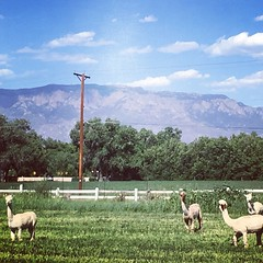 Albuquerque Alpacas