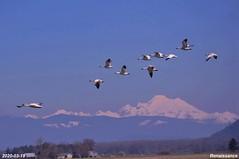 Snow Geese at Skagit Valley
