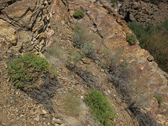 cliff goldenbush, Ericameria cuneata var. cuneata