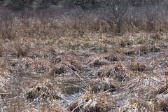 Roadside wetlands with peepers.