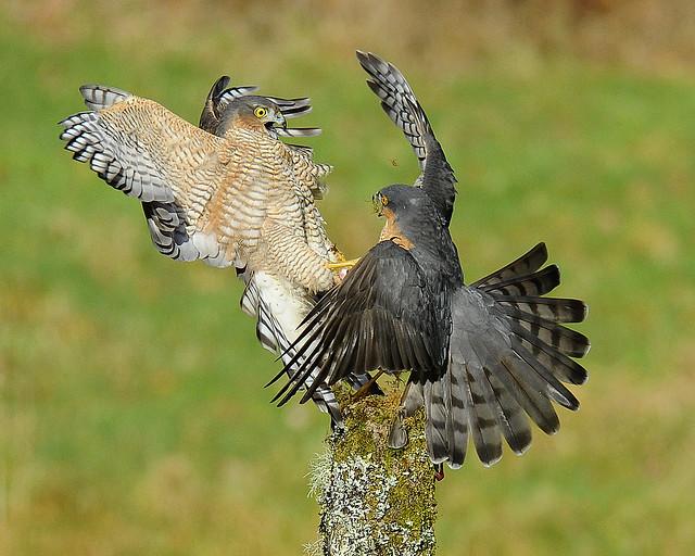 Sparrowhawk Dispute