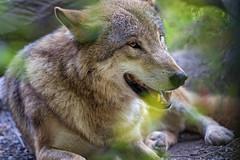Wolf lying down