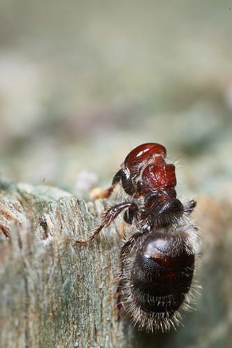 Velvet Ant?