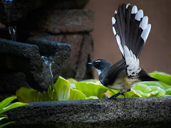 Philippine Pied Fantail, taken in my garden