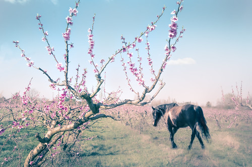 Pruniers en fleur