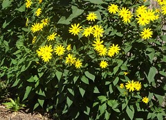 Adelaide. Grange Beach. Jerusalem artichoke flowers and plants in the garden of Captain Charles Sturt who build his house here in 1840.