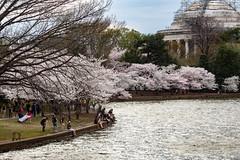 2020 Cherry Blossom