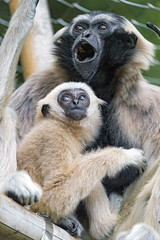 Gibbon mother with baby