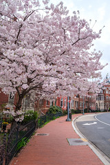 Neighborhood Cherry Blossoms