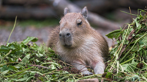 Young capybara in the vegetation