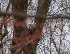 Baby Owl of Redgate Park PLEASE READ DESCRIPTION