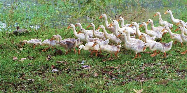 Les canards de Hoa lu