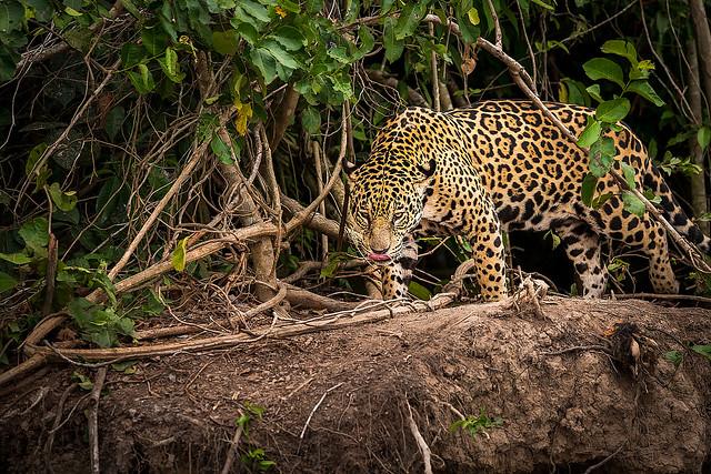 Jaguar sauvage, région du Pantanal, Brésil