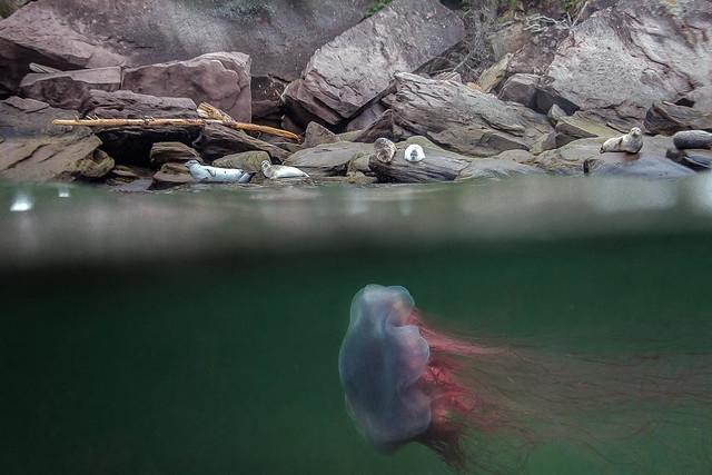Méduse crinière de lion