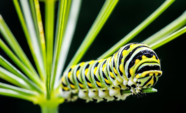 La chenille du machaon