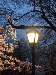 Magnolia by Lamppost Light