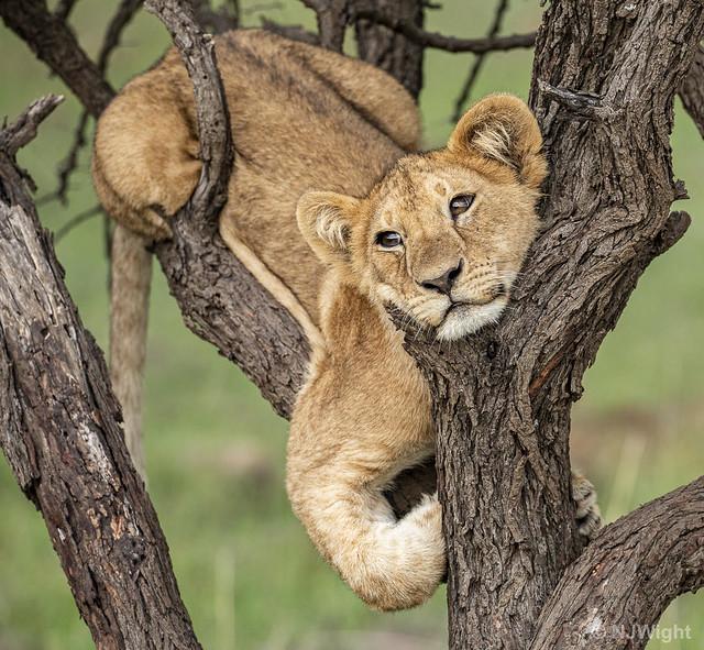 Un lionceau rêvassant