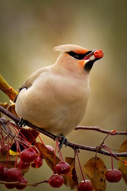 Chanteur de pomme