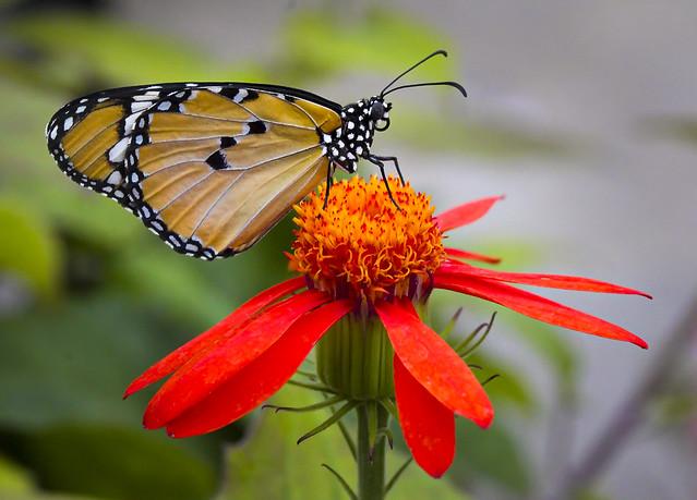 Communion entre la fleur et le papillon