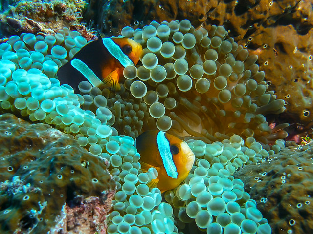 Clownfishes and Anemone, Indonesia