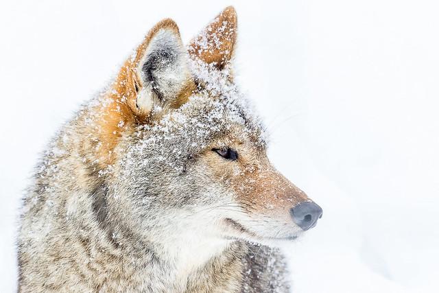 Le souffle du coyote