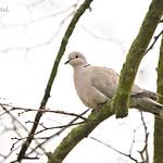 eurasian collared dove / hrdlička zahradní / streptopelia decaocto, CZE, 2020