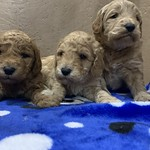 Sissy's F1b minis ! Sissy has 1 girl and 3 boys :) All of Sissy's puppies are reserved..