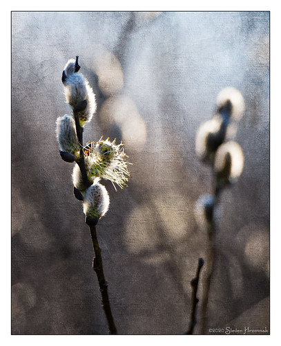 Sign of Spring - Pussy Willow Blossom