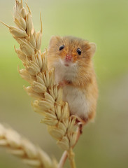 Harvest Mouse climbing skills