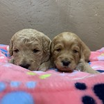 Abilene's 2 girls and 4 boys !! All of Abilene's puppies are reserved..