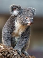 Koala posing well
