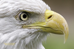 Bald Eagle Extreme Close-Up at the Tampa Lowry Park Zoo, Florida